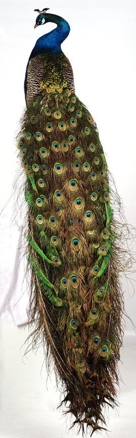 Taxidermy Peacock