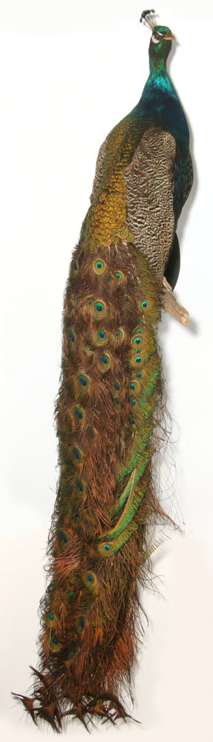 Wall mount taxidermied peacock